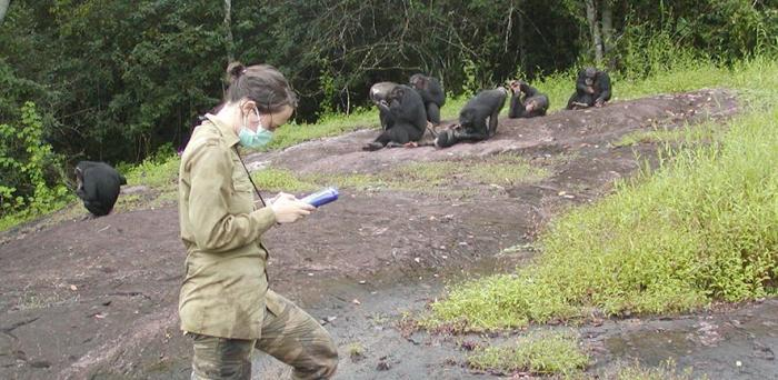 Researcher recording data on a group of habituated chimpanzees (Pan troglodytes verus) in Taï National Park, Ivory Coast.  Credit: Sonja Metzger, 2008.