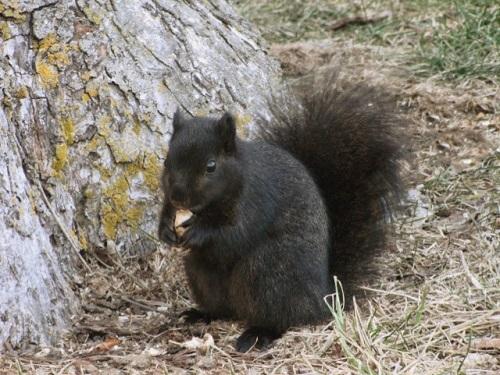 A melanic, or black, fox squirrel. Please credit Amanda K Ciurej