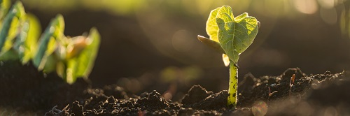 Green shoots of recovery_ tiny plant bursting through the soil_ credit Adobestock