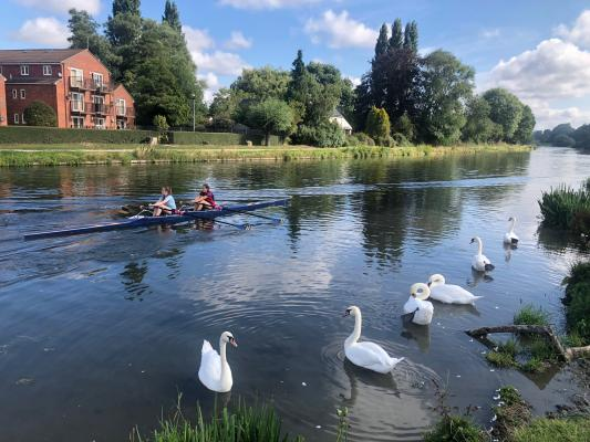 rowers and swans on the River Cam
