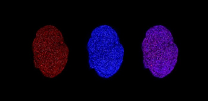 Images show the TET1 epigenetic mark within the cells in an adult liver organoid  Credit: Luigi Aloia and Ludovica Bastianini