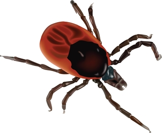 The pathogen is transmitted to humans through the bite of infected Ixodes tick species