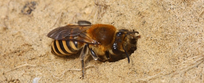 Ivy bee (Colletes hederae) - credit Dr Thomas Ings, Anglia Ruskin University