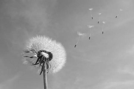 dandelion clock blowing in the wind