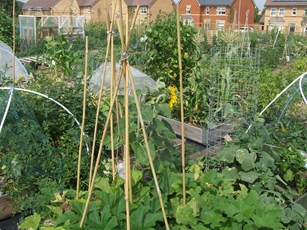 Plants flourishing at Northstowe allotments