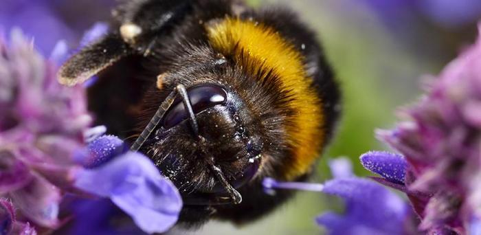 Bumblebee, Bombus terrestris  Credit: Yani Dubin on Flickr