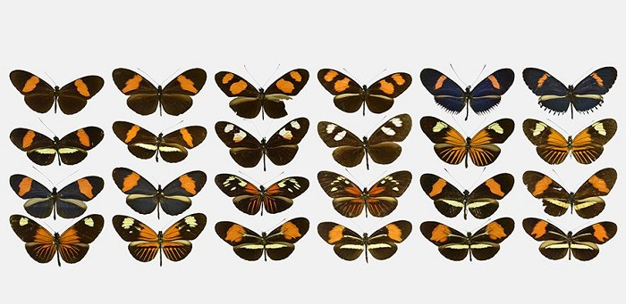 Butterfly co-mimic pairs from the species Heliconius erato (odd columns) and Heliconius melpomene (even columns). Illustrated butterflies are sorted by greatest similarity (along rows, top left to bottom right)  Credit: J Hoyal Cuthill, photo credits S Ledger and R Crowther