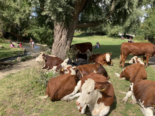 cows lounging under a tree next to a river where people are paddling