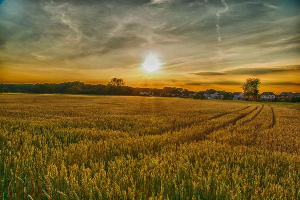 sun setting over a wheat field
