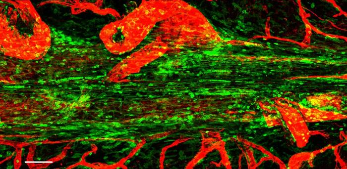 Confocal micrograph showing the superior saggital sinus in the mouse. Immune cells are shown in green lining this tube, and blood vessels in red  Credit: Zach Fitzpatrick