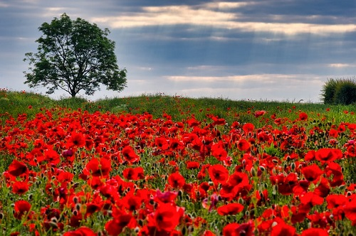 Poppy field, Image by Tim Hill from Pixabay.