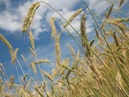 Wheat field_Image by R0bin from Pixabay